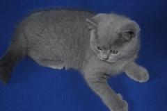 DSC_0957 британский котик