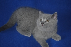 DSC_0958 британский котик