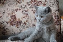 DSC_1404 британский котик