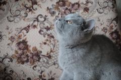 DSC_1411 британский котик