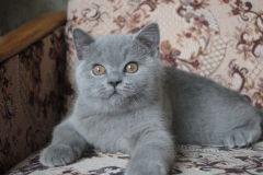 DSC_1423 британский котик