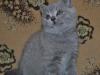британский котик  Фарсис8, возраст 7 недель