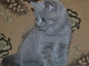 британский котик  Фарсис9, возраст 7 недель