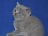 британский котик Фарсис1, возраст 1 мес
