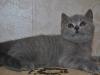 британский котик  Фарсис10, возраст 7 недель