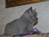 британский котик  Фарсис11, возраст 7 недель