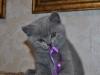 британский котик  Фарсис12, возраст 7 недель