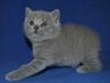 британский котик  Фарсис2