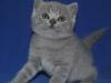 британский котик  Фарсис3