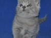 британский котик  Фарсис4