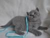британский котик  Фарсис5
