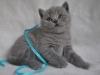 британский котик  Фарсис6