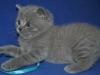 британский котик  Фарсис7