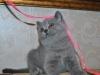 британская кошечка Фемида8, возраст 7 недель