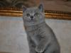 британская кошечка Фемида10, возраст 7 недель