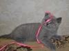 британская кошечка Фемида12, возраст 7 недель