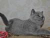 британская кошечка Фемида13, возраст 7 недель