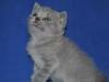 британский котик Фидий1, возраст 1 мес