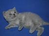 британский котик Фидий3