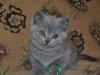 британский котик Фидий7, возраст 7 недель