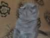 британский котик Фидий8, возраст 7 недель