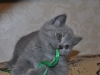 британский котик Фидий9, возраст 7 недель