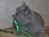 британский котик Фидий10, возраст 7 недель