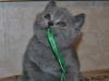 британский котик Фидий11, возраст 7 недель
