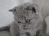 британский котик Фидий5