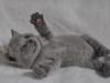 британский котик Фидий6
