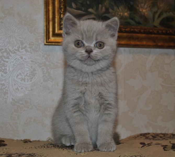 британская кошечка Флора12, возраст 7 недель