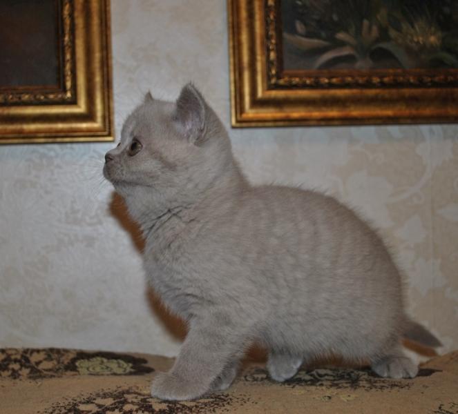 британская кошечка Флора13, возраст 7 недель