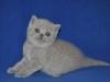 британская кошечка Флора3, возраст 4 недели