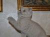 британская кошечка Флора10, возраст 7 недель