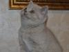 британская кошечка Флора11, возраст 7 недель