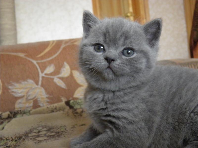 британский котенок Роксана4