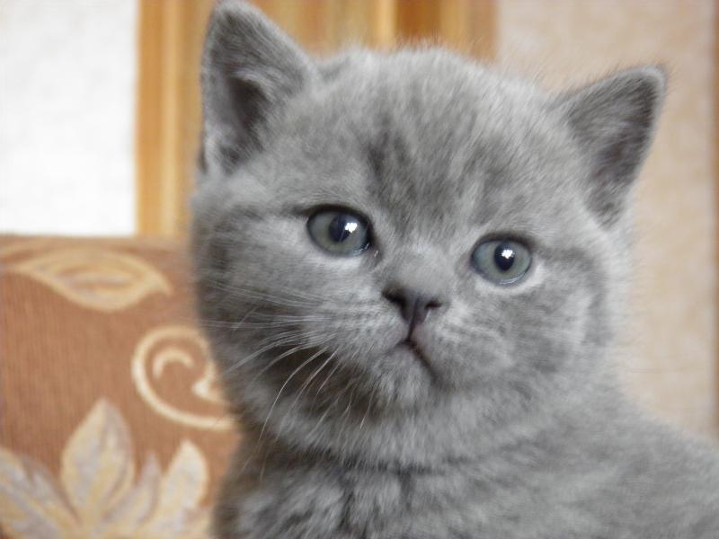 британский котенок Роксана6