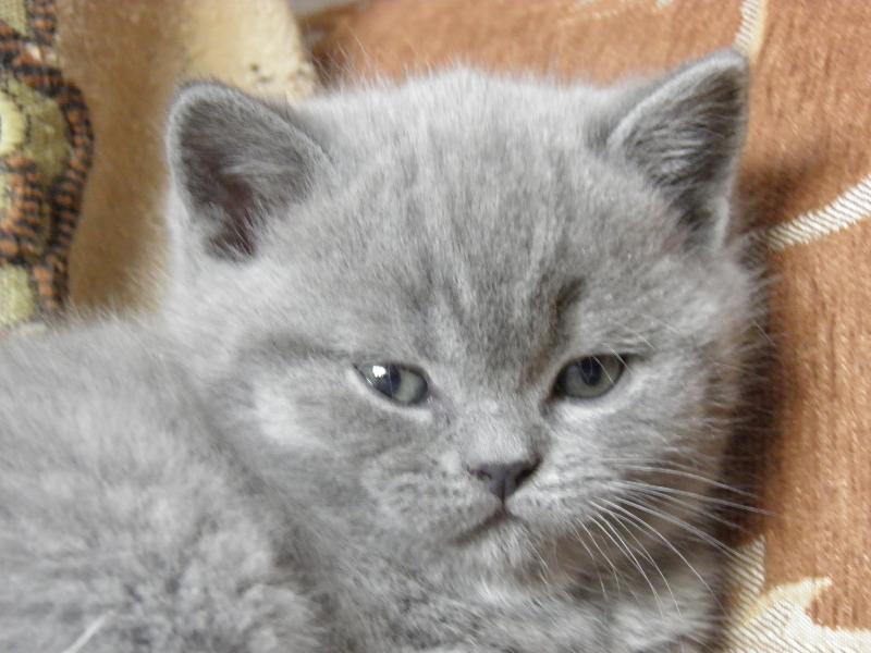 британский котенок Роксана10