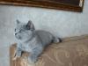британский котенок _roksana