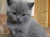 британский котенок Роксана1