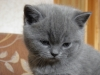 британский котенок Роксана2