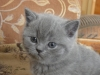 британский котенок Роксана3