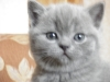 британский котенок Роксана5