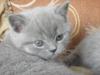 британский котенок Роксана7