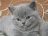 британский котенок Роксана8