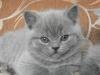 британский котенок Роксана9