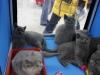 британский котенок Розмари11