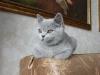 британский котенок _rozmar2