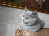британский котенок _rozmar1