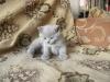 британский котенок Розмари1